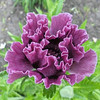 Papaver 'Manhattan'