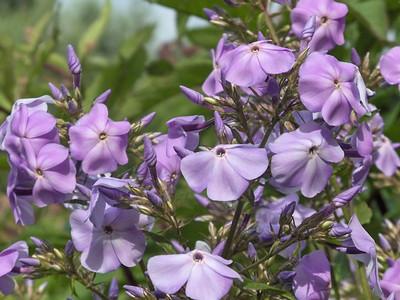 Phlox paniculata 'Lavender Lynn'