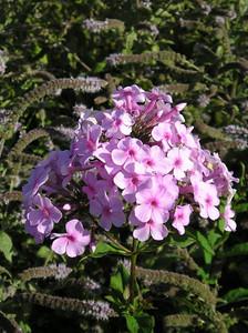 Phlox maculata 'Princess Sturdza'