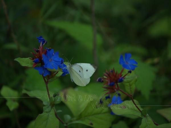 Cabbage moth on Chinese plumbago