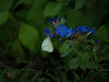 Cabbage moth on Chinese plumbago