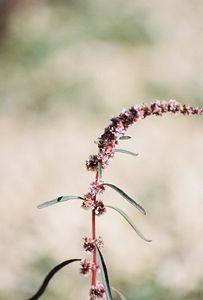 9/21/03 Fringed Amaranth (Amaranthus fimbriatus). Jumbo Rocks, campsite#6B. Joshua Tree National Park, San Bernardino County, CA
