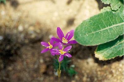 6/3/01 Centaury/Canchalagua (Zeltnera venusta). Kyle Court, La Cresta, Murrieta, Riverside County, CA