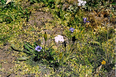 8/17/04 Sierra Gentian (Gentianopsis holopetala). White Wolf Lodge & Campground (meadow area), Yosemite National Park, Tuolumne County, CA