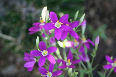6/25/10 Canchalagua (Zeltnera venusta). Kyle Court, Murrieta, Riverside County, CA