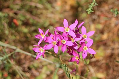 7/24/11 Canchalagua (Zeltnera venusta). Vista Grande Trail, Santa Rosa Plateau Ecological Reserve, Riverside County, CA