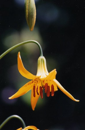 PLANTS: LILIACEAE (Lily Family)
