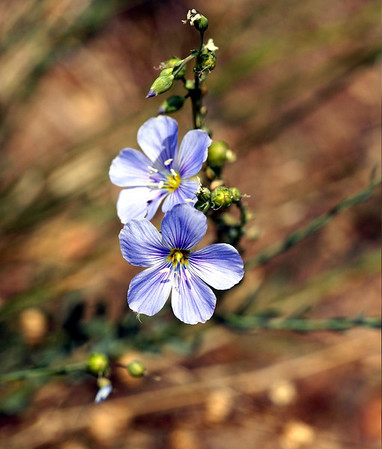 PLANTS: LINACEAE (Flax Family)