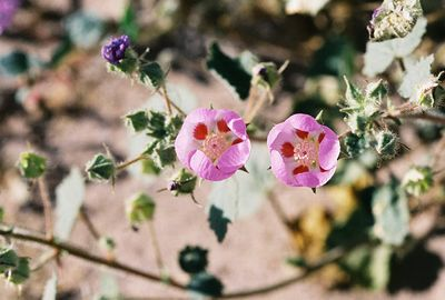 3/25/05 Desert Five Spot (Eremalche rotundifolia). Alluvial fans on west side (Black Mtns) of Hwy 178, Ashford Mill area. Death Valley National Park, Inyo County, CA