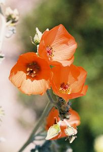 3/13/05 Apricot Mallow (Sphaeralcea ambigua). Between North Entrance and Pinto Basin. Joshua Tree National Park, San Bernardino County, CA