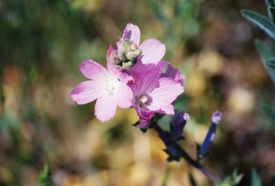 5/8/04 Checkerbloom (Sidalcea malvaeflora ssp. sparsiflora). Meadows off Hwy 79 north of Cuyamaca Rancho State Park Headquarters, San Diego County, CA