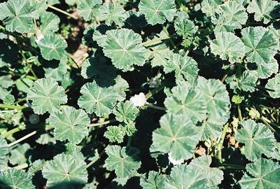 4/29/00 Alkali Mallow (Sida hederacea). Eaton Canyon Natural Area, San Gabriel Mountains, Los Angeles County, CA