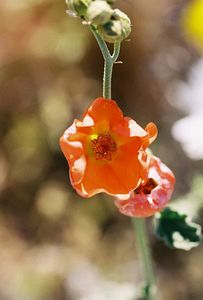 3/25/05 Apricot Mallow (Sphaeralcea ambigua). Southern part of DVNP (need to ID exact location). Death Valley National Park, Inyo County, CA