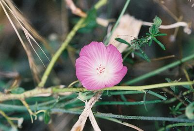 6/5/05 Checkerbloom (Sidalcea malvaeflora). Forest Service Rd @end of Tenaja Rd, Cleveland National Forest, Riverside & San Diego County Line, CA