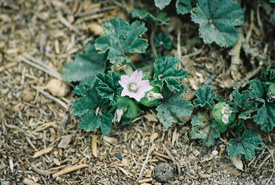 8/18/04 Common Mallow (Malva neglecta). Elkhorn Slough National Estuarine Research Reserve, Monterey County, CA