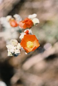 7/1/05 Apricot Mallow (Sphaeralcea ambigua). South Lake Road to vicinity of Bishop Creek Lodge. Inyo National Forest, Eastern Sierras, Inyo County, CA