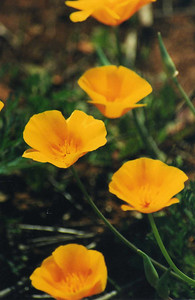 3/31/01 California Poppy (Eschscholzia californica). Vernal Pool Trail, Santa Rosa Plateau Ecological Reserve, SW Riverside County, CA