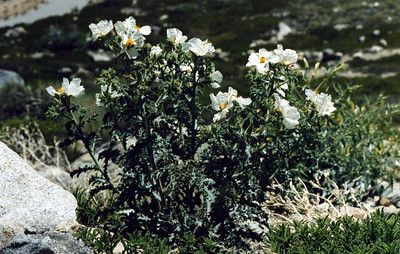 7/8/00 Prickly Poppy (Argemone munita). Abundant roadside, growing alongside Blazing Star. Onion Valley Road, 7,500-8,000 ft., Inyo National Forest, Independence Region, Eastern Sierras, Inyo County, CA