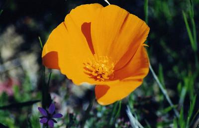 2/22/03 California Poppy (Eschscholzia californica). Selby Road, Carrizo Plain National Monument, San Luis Obispo County, CA