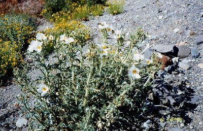 6/14/1998 Prickly Poppy (Argemone munita). Roadside off Hwy 178W to Panamint Springs, >4,000 ft., Death Valley National Park, Inyo County, CA