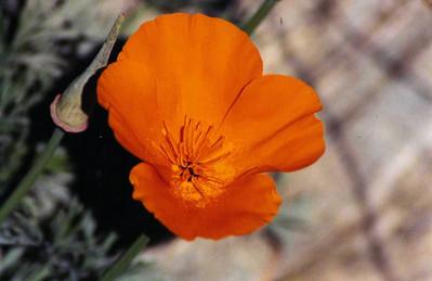 3/10/02 California Poppy (Eschscholzia californica). Eaton Canyon Natural Area, San Gabriel Mountains, Los Angeles County, CA