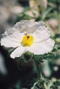7/8/00 Prickly Poppy (Argemone munita). Onion Valley Road, 7,500-8,000 ft., Inyo National Forest, Independence Region, Eastern Sierras, Inyo County, CA