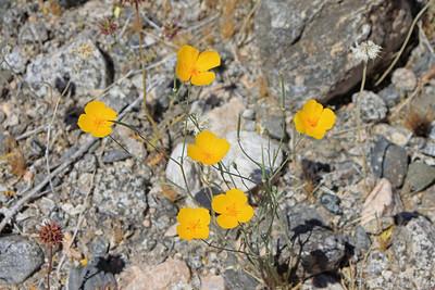 4/3/11 Parish's Poppy (Eschscholzia parishii). Shaver's Valley, Riverside County, CA
