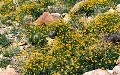 2/27/05 Parish's Poppies (Eschscholzia parishii). Nude Wash off Hwy 78. California Native Plant Society (Riverside-San Bernardino Chapter) field trip. Anza Borrego Desert State Park, San Diego County, CA