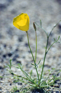3/8/03 Parish's Poppy (Eschscholzia parishii). Box Canyon Road, north of Sheep Hole Oasis Trail, Mecca Hills, Riverside County, CA
