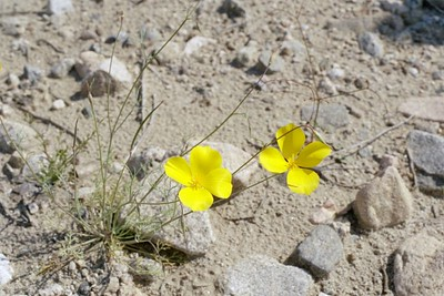 2/6/05 Desert Gold Poppy (Eschscholzia glyptosperma). Meccacopia Jeep Trailhead/wash (bisecting Orocopia Mtns & Mecca Hills Wilderness areas) on south (left) side of Box Canyon Rd., west of Sheep Hole Oasis Campground. Riverside County, CA