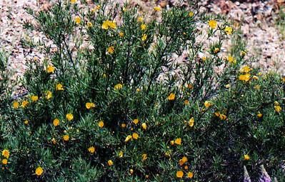 4/30/05 Bush Poppy (Dendromecon rigida). Descending Figueroa Mountain Rd., from Ranger Peak to Cachuma Saddle. Figueroa Mountain Recreation Area, Santa Lucia Ranger District, Los Padres National Forest, Santa Barbara County, CA