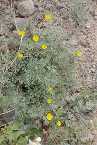 2/6/05 Little Gold Poppy (Eschscholzia minutiflora). Mecca Hills Wilderness: Wash north (right) of Box Canyon Rd., west of Sheep Hole Oasis Campground. Riverside County, CA