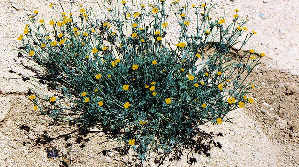 3/21/04 Little Gold Poppy (Eschscholzia minutiflora). Wash off west side of Cottonwood Road (south of Visitor Center), Joshua Tree National Park, Riverside County, CA