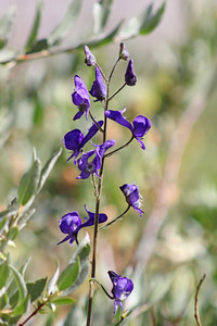 8/15/11 Monkshood (Aconitum columbianum). Onion Valley, Eastern Sierras, Inyo National Forest, Inyo County, CA