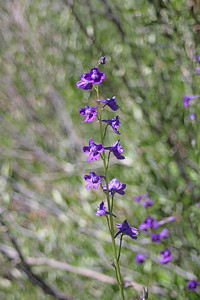8/15/11 Mountain Larkspur (Delphinium glaucum). Onion Valley, Eastern Sierras, Inyo National Forest, Inyo County, CA
