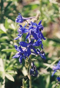 7/4/05 Dwarf Larkspur (Delphinium depauperatum). Forest Service Rd 64 (unpaved portion bet. Blue Lake turnoff from Cty Rd 258 and Patterson)  @Modoc & Lassen Cty lines,  Modoc National Forest, Warner Mtn Ranger District, CA