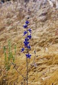 5/7/05 Blue Larkspur (Delphinium parryi). Pentachaeta Trail, Triunfo Creek Park, Santa Monica Mountains Conservancy. Westlake Village, Los Angeles County, CA