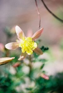 7/1/05 Alpine Pink Columbine (Aquilegia pubescens). South Lake. Bishop Region, Eastern Sierras, Inyo National Forest, Inyo County, CA