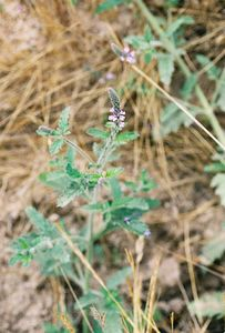 6/5/05 Vervain (Verbena lasiostachys). Forest Service Rd @end of Tenaja Rd, Cleveland National Forest, Riverside & San Diego County Line, CA