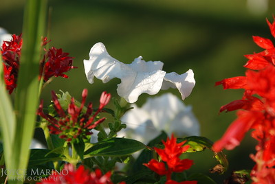 Petunia & raindrops -- DSC_0049