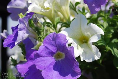 Petunias Purple & White -- DSC_0184