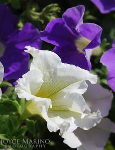 Petunia -- DSC_0182_3