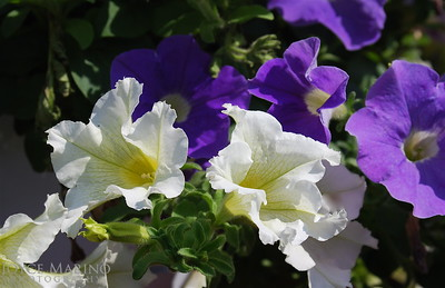 Petunias -- DSC_0182_2