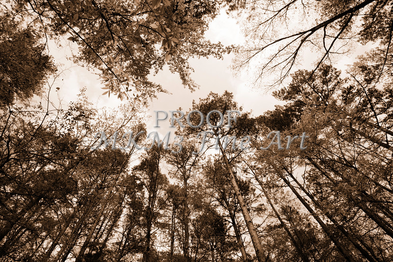 Scenic Forest Trees from East Texas Photograph Picture Fine Art Prints 4100.01