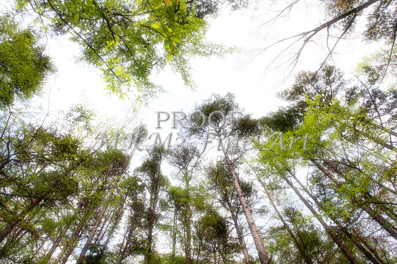 Scenic Forest Trees from East Texas Photograph Picture Fine Art Prints 4103.02