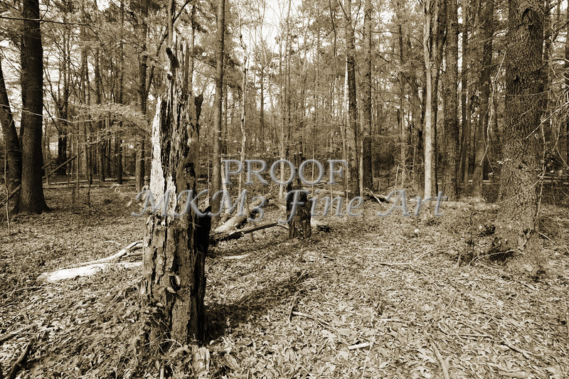 Scenic Forest Trees from East Texas Photograph Picture Fine Art Prints 4101.01