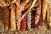 Thanksgiving Halloween Ears of Corn