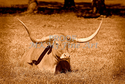 Monochrome Longhorn Cow Rsting in Grass