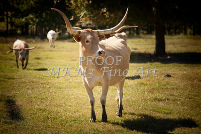 Texas Longhorn Cattle Front View in Color 3093.02