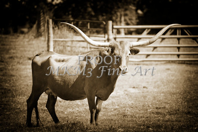 Texas Longhorn Cattle in a Pasture in Sepia 3094.01